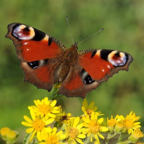 papillon-rouge-bleu-jardin-paon-du-jour.jpg